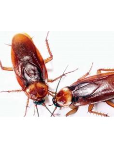 Cucaracha Runner