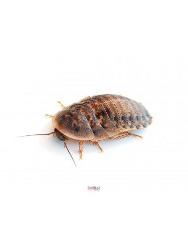 Cucaracha Blaptica Dubia